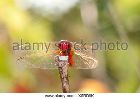 Scarlet Dragonfly, Broad Scarlet, France, Crocothemis erythraea, scarlet darter, insect, dragonfly, red, crocothemis erythraea, - Stock Photo