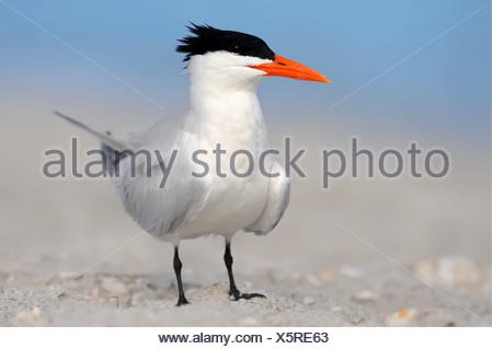 Royal Tern (Sterna maxima, Thalasseus maximus) on the beach, Sanibel Island, Florida, United States - Stock Photo