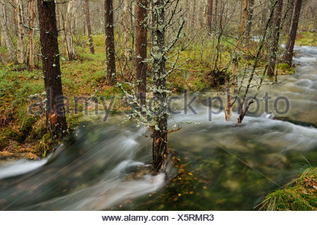 Floodwater in the forest near Straumbu, Rondane National Park, Norway, Scandinavia, Europe - Stock Photo