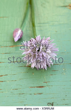 Chives with blossom, medium close-up, - Stock Photo