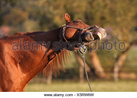 Roedinghausen, Germany, a horse yawns - Stock Photo