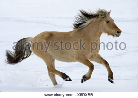 Norwegian Fjord horse - galloping in snow - Stock Photo