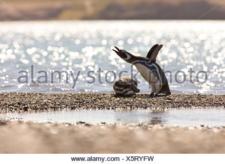 Magellanic penguin (Spheniscus magellanicus) flapping its wings, with another lying down. Puerto Deseado, Patagonia, Argentina, Nov 2008 - Stock Photo
