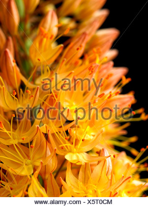 Eremurus x isabellinus 'Cleopatra', Foxtail lily, Orange, Black.