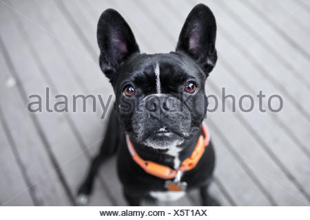 Portrait of cute dog looking up from patio - Stock Photo
