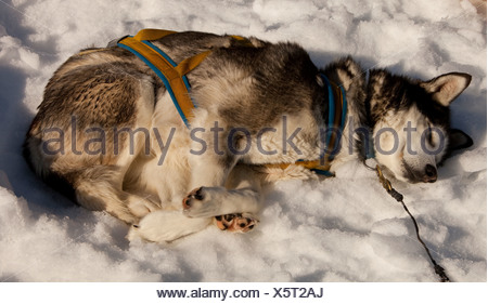 Sled dog in harness resting, sleeping in snow and sun, stake out cable, Alaskan Husky, Yukon Territory, Canada - Stock Photo