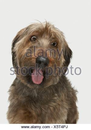 Portrait of Briard dog - Stock Photo