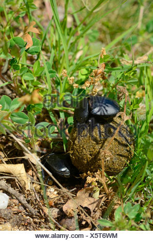 Sacred scarab beetle, Egyptian scarab (Scarabaeus cf. sacer), two scarab beetles by the transport of a dung ball , Bulgaria - Stock Photo