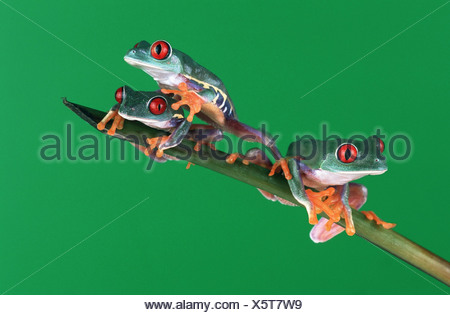 red-eyed treefrog (Agalychnis callidryas), three individuals climbing on a twig - Stock Photo