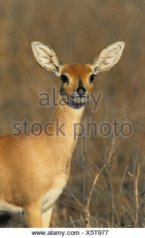 Steenbok (Raphicerus campestris), Kruger National Park, South Africa, Africa - Stock Photo