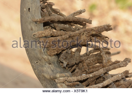 Horn Moth (Ceratophaga vastella) larval faecal towers erupting out of horn one of few animals that feeds on keratin Kafue N.P. - Stock Photo