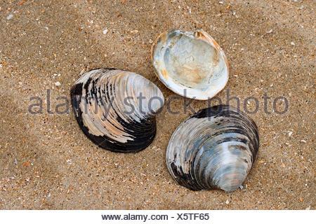 ocean quahog, Icelandic cyprine, mahogany clam, mahogany quahog, black quahog, black clam (Arctica islandica, Cyprina islandica), shells on the beach, Germany - Stock Photo