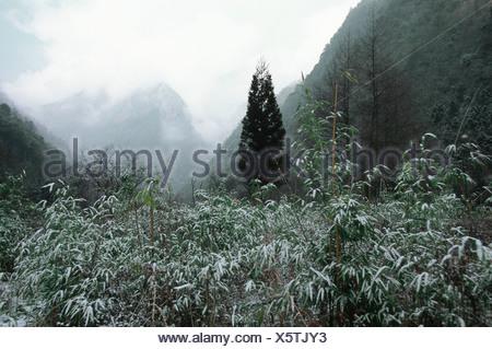 giant panda (Ailuropoda melanoleuca), Wolong Valley, biotop of giant panda, China, Himalaya - Stock Photo