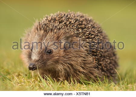 mammal sting hedgehog - Stock Photo