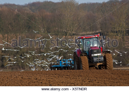 Black-headed Gulls, Chroicocephalus ridibundus with a few Common Gulls, Larus canus following plough and harrow, winter. - Stock Photo