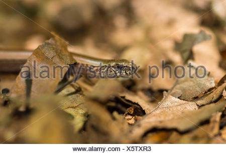Close-up of male western blindworm (Anguis fragilis) between brown leaves on the forest floor, Usedom Island - Stock Photo