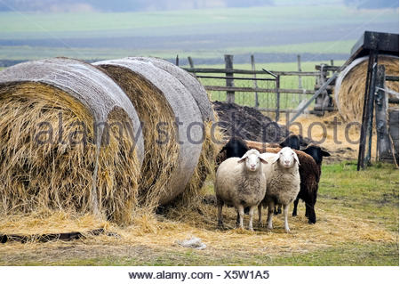 Five sheep and hay - Stock Photo