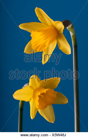 Narcissus 'Tete-a-Tete', Daffodil, Yellow flower subject, Blue background - Stock Photo