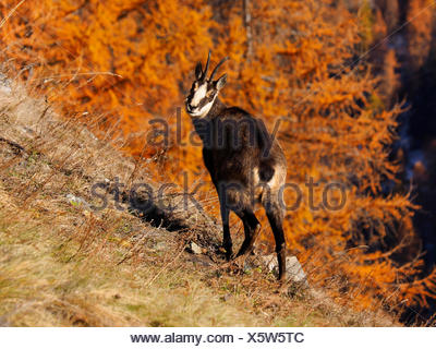 chamois (Rupicapra rupicapra), on a slope in autumn, Italy, Gran Paradiso National Park - Stock Photo