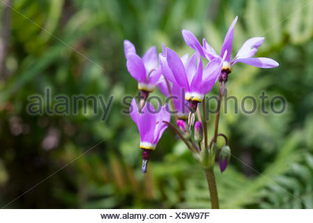 Shooting star, Dodecatheon pulchellum, near Victoria, BC, Canada - Stock Photo
