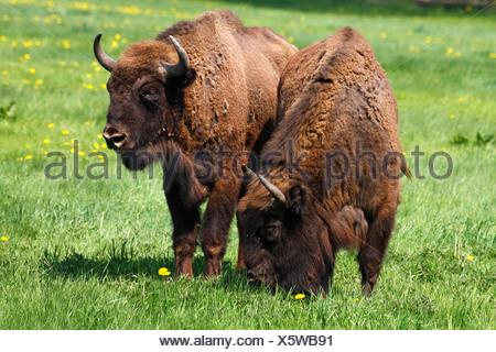 European Bisons, Wisent (Bison bonasus) - Stock Photo