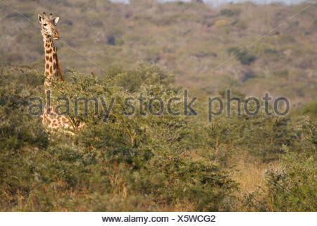A giraffe, head above the tree tops on the Maasai steppe. - Stock Photo