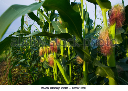 Agriculture - Mid growth grain corn plants with a healthy crop of immature ears / near Northland, Minnesota, USA. - Stock Photo