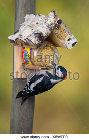 Great spotted woodpecker (Picoides major, Dendrocopos major), at the feeding site, Germany - Stock Photo