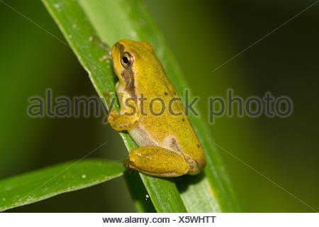 European treefrog, common treefrog, Central European treefrog (Hyla arborea), juvenile, after the end of the metamorphosis, Germany, Bavaria, Isental - Stock Photo
