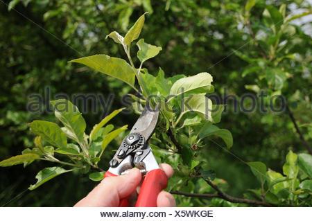 Apple tree pinching - Stock Photo