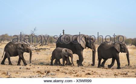 African Elephants (Loxodonta africana), after bathing, Etosha National Park, Namibia - Stock Photo
