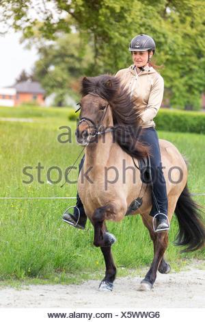 Islandic Horse Mare rider at the toelt Austria - Stock Photo