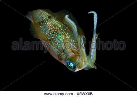 Big Reef Squid at Night, Sepioteuthis lessoniana, Ari Atoll, Maldives - Stock Photo