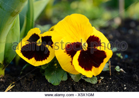 Viola flowers coloured violet and yellow densely blooming in a pot pansy pansy violet viola x wittrockiana viola wittrockiana viola hybrida mightylinksfo Images