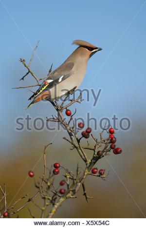 Scandinavia, Sweden, Oland, Waxwing bird perching on branch, close-up - Stock Photo