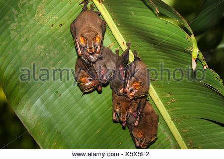 Peters' tent-making bat, Tent-Making-Bat (Uroderma bilobatum), group hangs under a banana leaf, Costa Rica - Stock Photo