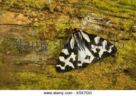 Wood Tiger (Parasemia plantaginis, Phalaena plantaginis), sits on bark, Germany - Stock Photo
