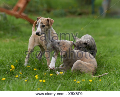Three young Whippets in meadow - Stock Photo