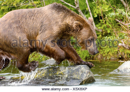 Sow (female) brown bear fishing for salmon near the Redoubt Bay Lodge, Big River Lakes, along the Cook Inlet, west of - Stock Photo