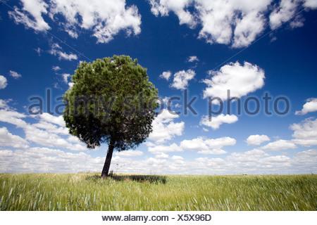 A tree in a wheat field, Sevilla, Spain - Stock Photo