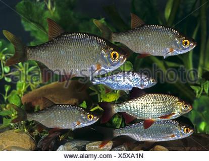 Common Rudd (Scardinius erythrophthalmus) . Group under water. Germany - Stock Photo