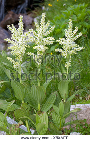false helleborine, white hellebore (Veratrum album), blooming, Germany - Stock Photo