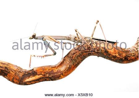 Giant African Stick Mantis, Tanzanian Stick Mantis, Cat-eye mantis, Chaeta (Heterochaeta occidentalis), on a branch, cut-out - Stock Photo