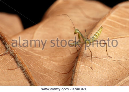 Praying Mantis - religiosa - Stock Photo