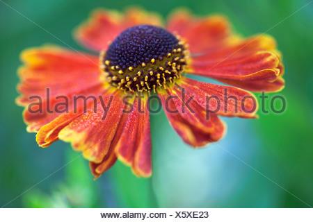 Helen's flower, Sneezeweed, Helenium 'Moerheim Beauty', Orange. - Stock Photo