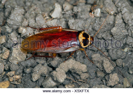 Australian cockroach (Periplaneta australasiae, Blatta australasiae), on the ground, Austria - Stock Photo