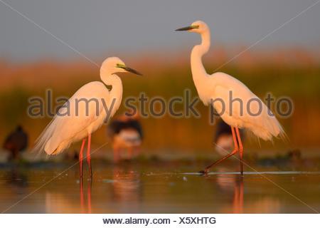 Great Egrets (Ardea alba), two adult birds in the morning light, Kiskunság National Park, Southeastern Hungary, Hungary - Stock Photo