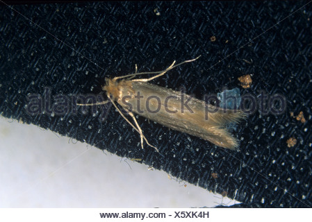 Clothes moth Tineola biselliella moth on fabric - Stock Photo