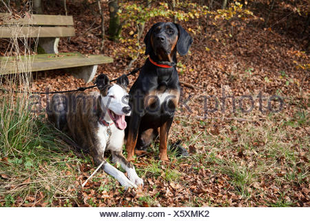 Leashed hounds in the wood - Stock Photo