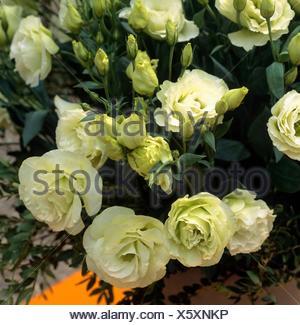 Eustoma grandiflorum - `Mariachi Green'   ANN103848 - Stock Photo